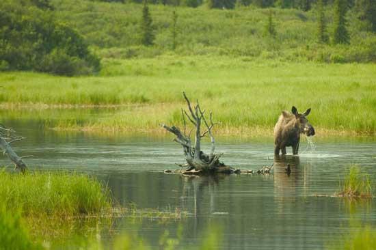 Moose in Kenai